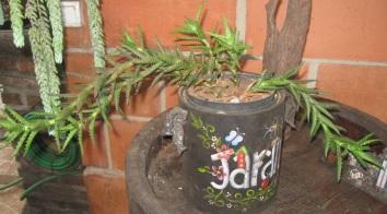 Aloe juvenna