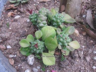 Monadenium ritchiei