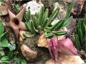 Stapelia grandiflorum