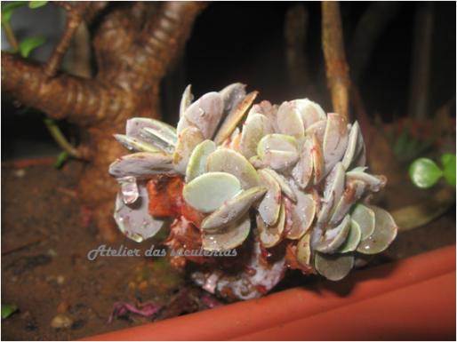 echeveria-cristata