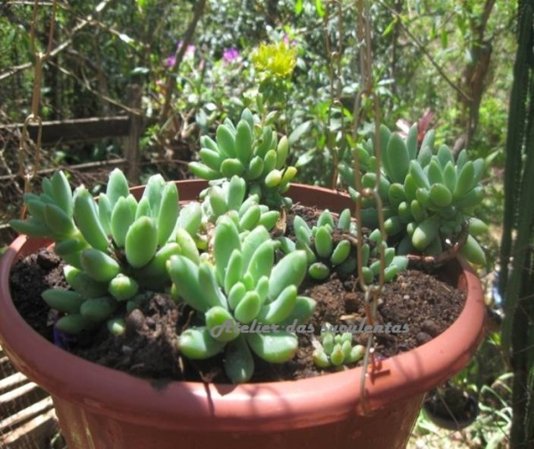 pachyphytum-brevifolium