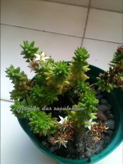 sedum-anglicum-pyrenaecum