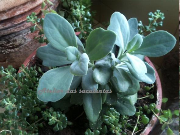 sedum-dendroideum-ssp-praealtum