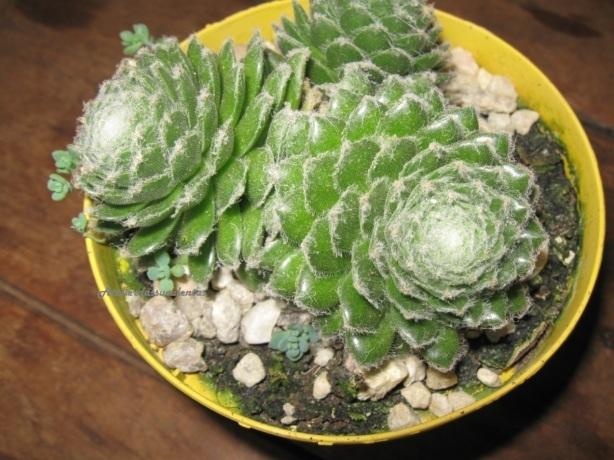 sempervivum-arachnoideum-branco